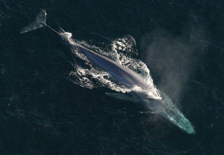 Ballena azul, el animal más grande en el mundo » BALLENAPEDIA