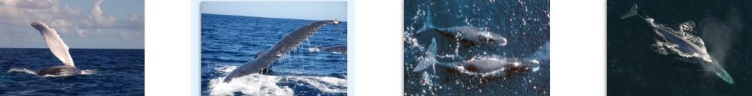 Anatomía de las ballenas » BALLENAPEDIA